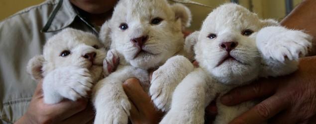Photos: White lion cubs' deceiving looks